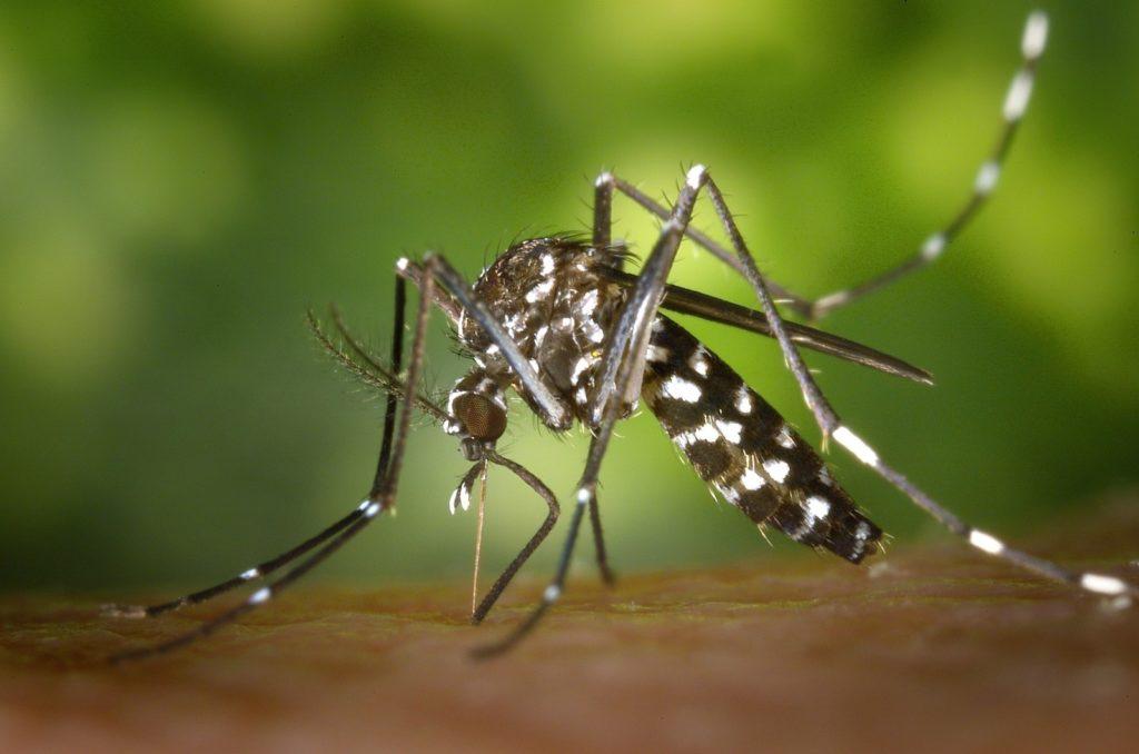 x. mosquito
